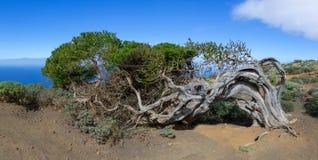 Sabina - jałowcowy drzewo na wyspie El Hierro Zdjęcia Royalty Free