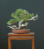 Sabina juniper bonsai Royalty Free Stock Image