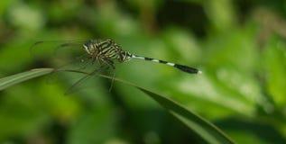 Sabina orthetrum dragonfly na świrzepy zdjęcie royalty free