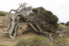 Sabina tree Stock Photo