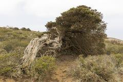Sabina tree Royalty Free Stock Image
