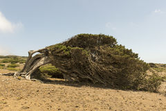 Sabina tree Royalty Free Stock Photo