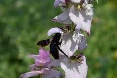 Sabio de las abejas de carpintero y de clary de la flor Imagen de archivo libre de regalías