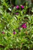 Sabio del otoño y una abeja Fotografía de archivo libre de regalías