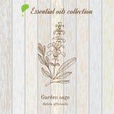 Sabio, etiqueta del aceite esencial, planta aromática Vector Fotos de archivo libres de regalías
