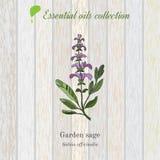 Sabio, etiqueta del aceite esencial, planta aromática Vector Imagenes de archivo