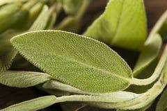 Sabio orgánico verde crudo Fotos de archivo
