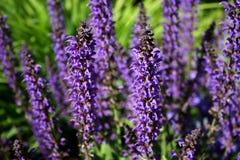 Sabio púrpura Imagenes de archivo