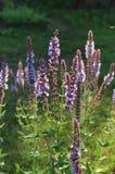 Sabio púrpura salvaje floreciente Fotos de archivo
