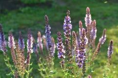 Sabio púrpura salvaje floreciente Imagen de archivo