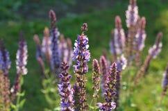 Sabio púrpura salvaje floreciente Fotografía de archivo
