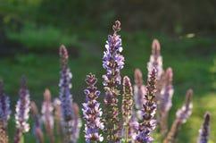 Sabio púrpura salvaje floreciente Imagenes de archivo