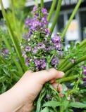 Sabio púrpura o Salvia Officinalis Flowers marchitado a disposición Imagen de archivo
