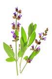 Sabio (Salvia Officinalis) Foto de archivo libre de regalías
