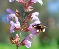 Sabio y abeja Imagen de archivo