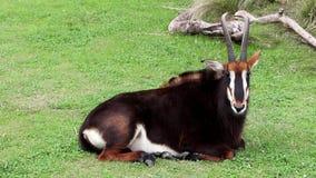 sable антилопы сток-видео