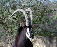 Sable. This a sable, image took in namibia south Africa this animal is used for fur coats that are very expensive Royalty Free Stock Images
