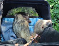 Sable Male Adult ferrets out in their pram. Sable Adult male ferrets Isaac and Jacob out in their pram stock photos
