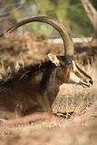 Sable antelope. Wild Sable antelope, Hippotragus niger royalty free stock images