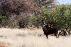 Sable antelope. Lone sable antelope in southern african bush Royalty Free Stock Photography