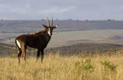 Sable Antelope in field. A Sable Antelope enjoying the morning sun in a grassland area Stock Photography