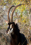 Sable antelope 2 Stock Images