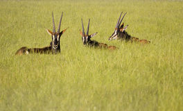 Sable antelope Stock Images