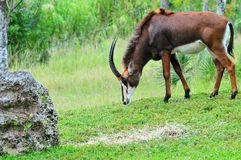 Sable antelope Stock Photos