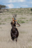 Sable Antelope. In Mokala national park, South African Stock Image