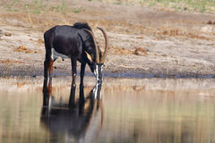 Sable Antelope. Photographed in Southern Africa Royalty Free Stock Photo