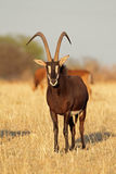 Sable antelope Stock Photography