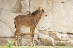 Sable antelope Royalty Free Stock Image