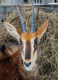 Sable antelope. Or black antelope is a hoofed mammal. They are found in Africa and the Arabian Peninsula Stock Photo
