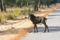 Sable antelope bull Royalty Free Stock Photo