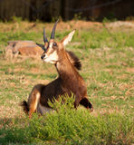 Sable antelope busy lying down Stock Photo