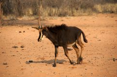 Sable antelope calf Royalty Free Stock Image