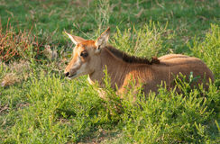 Sable antelope calf Royalty Free Stock Images