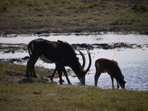 Sable antelope and calf drinking. Sable antelope (Hippotragus niger) in Botswana Stock Photo