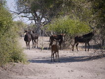 Sable antelope and calf. Sable antelope (Hippotragus niger) in Botswana Royalty Free Stock Image