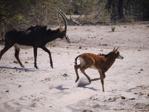 Sable antelope and calf. Sable antelope (Hippotragus niger) in Botswana Royalty Free Stock Photography