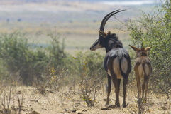 Sable antelope with calf Royalty Free Stock Images