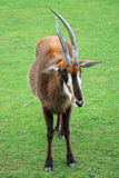 Sable antelope Royalty Free Stock Photo