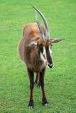 Sable antelope royalty free stock photo
