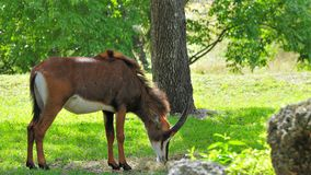Sable antelope eating Royalty Free Stock Photo
