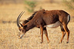 Sable antelope Royalty Free Stock Photography