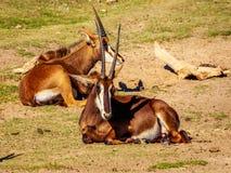 Sable Antelope Group Stock Photos