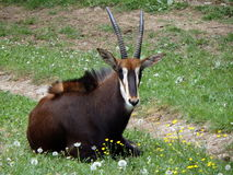 Sable antelope. Hippotragus niger, antelope Royalty Free Stock Photography