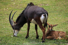 Sable antelope (Hippotragus niger) Royalty Free Stock Photos