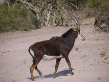 Sable antelope. (Hippotragus niger) in Botswana Stock Images