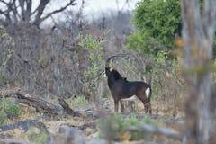 Sable antelope,Hippotragus niger, national park Moremi, Botswana Royalty Free Stock Images